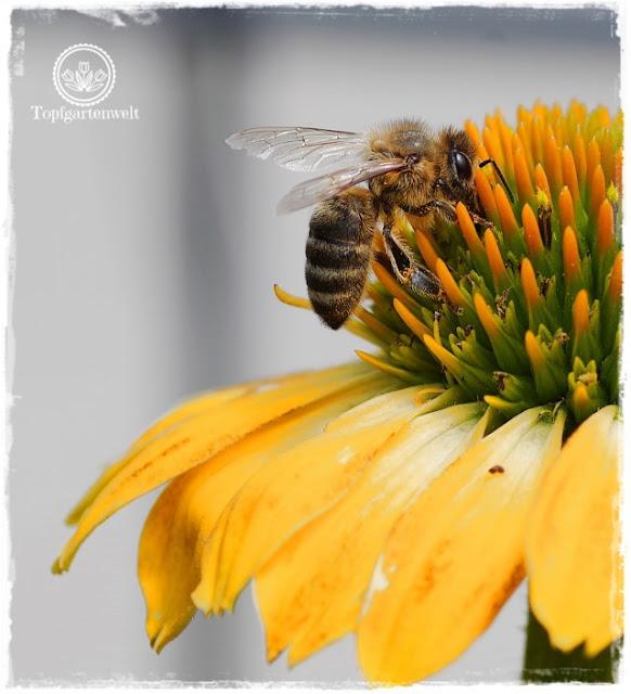 historische Stauden für den Garten finden - Alte Staudenschätze - Biene auf Sonnenhut - Gartenblog Topfgartenwelt