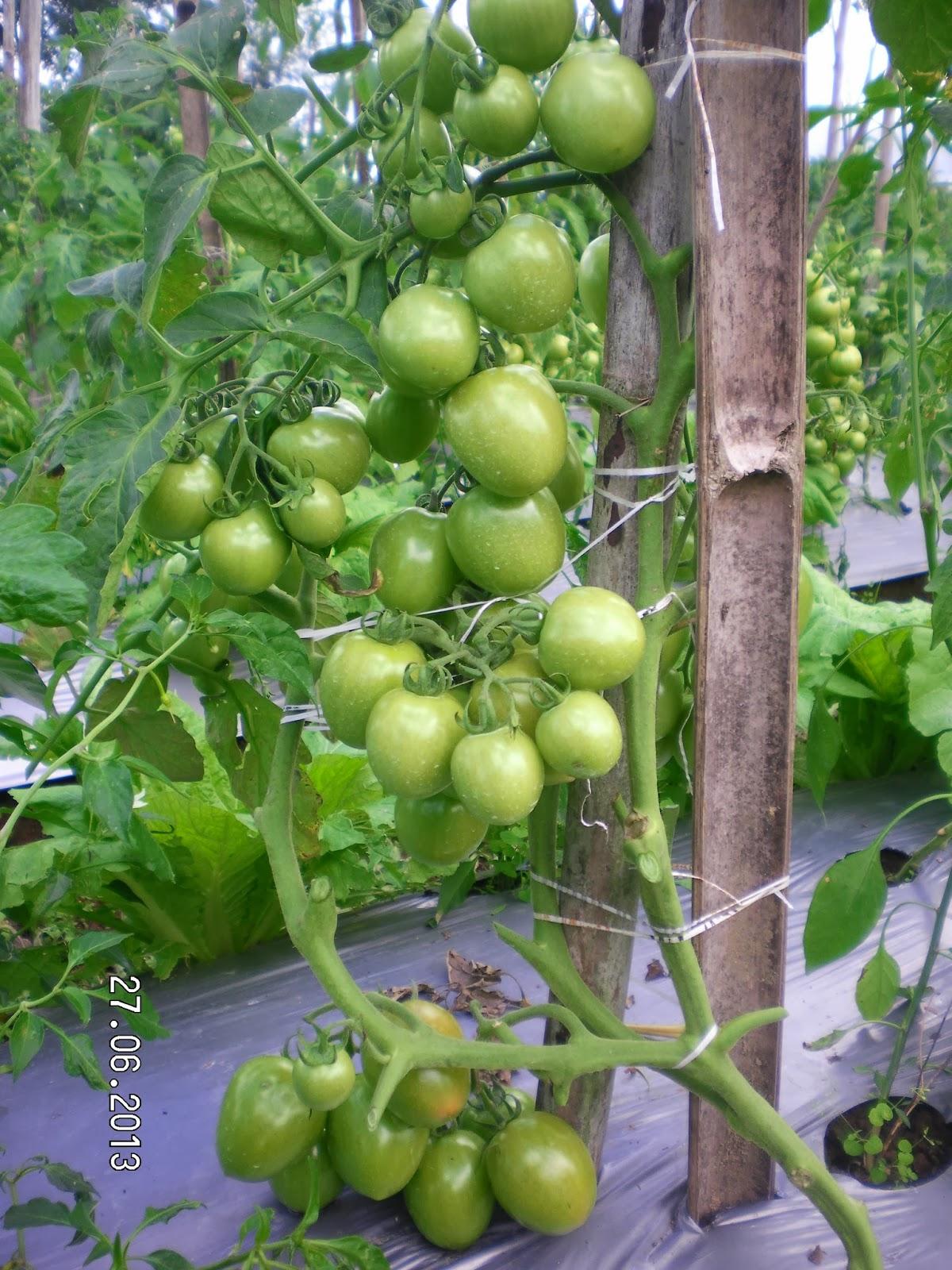 Benih, Tomat, Petani, Andalan, Known You Seed, Harga murah
