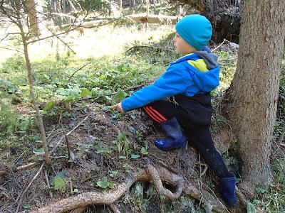 grzyby 2017, grzyby na Orawie, grzyby wiosenne, smardze, smardzowanie, majówka, pochód pierwszomajowy,