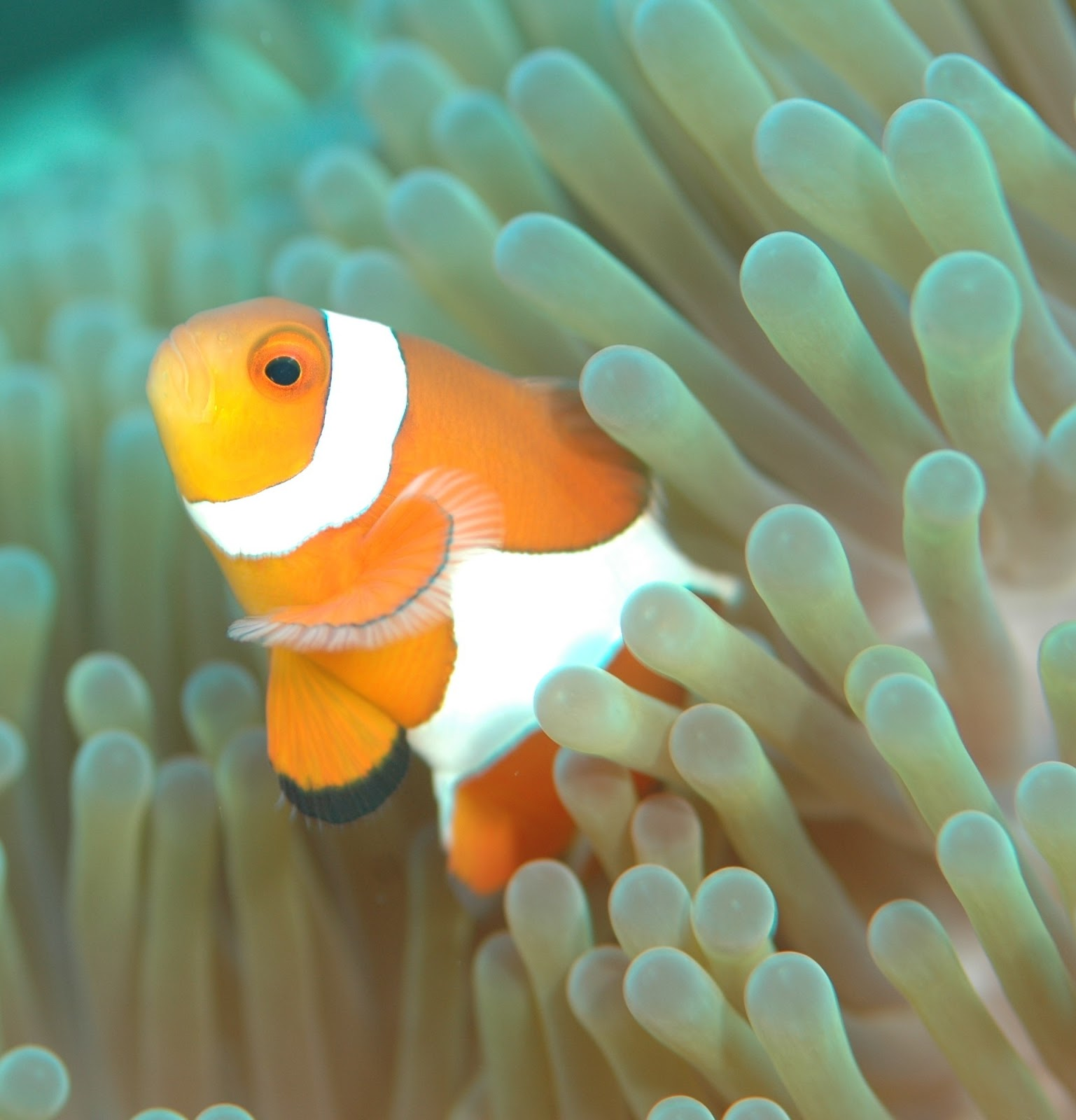 Image of a clown fish emerging from sea anemone.