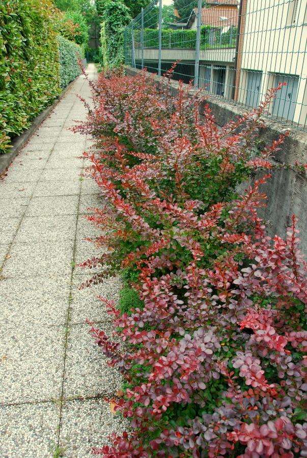 Il mondo in un giardino berberis e berberina for Piante sempreverdi