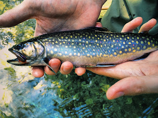 Brook Trout Swift River Cady Lane