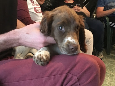 puppy with brown head, golden eyes and large paws sits on a lap