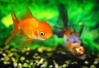 Japon balıkları daha uzun nasıl yaşar
