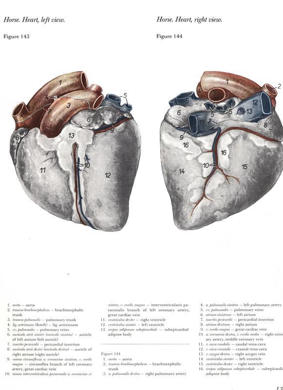 heart-horse-anatomy-anatomia-coração-cavalo-egua-mare-veterinaria-ventriculo-atrio-coronaria-miocardio-miocardy-popesko-vetarq