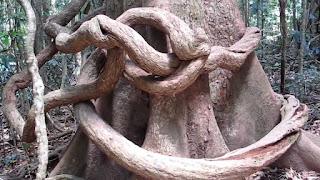 Medrak tree
