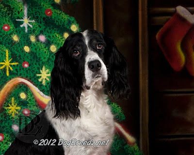 Calvin the English Springer Spaniel poses on the Holiday photo set