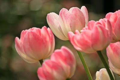 Bunga Tulips