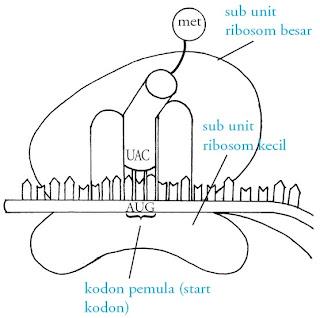 Proses dan Tahapan Sintesis Protein, Pengertian Replikasi