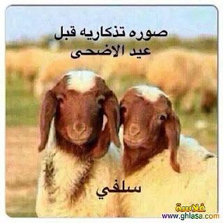 اجمل خروف العيد