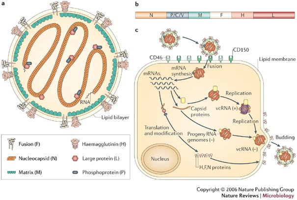 Infection Landscapes: Measles Part 1: The Virus, the Disease
