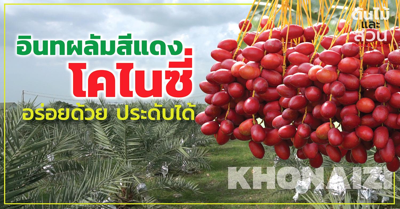 อินทผลัมสีแดง โคไนซี่ (KHONAIZI) อร่อยด้วย ประดับได้