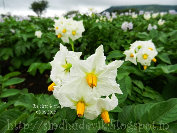 A photography of vegetable Flower cluster