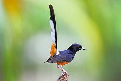 Kumpulan Suara Kicau Burung Full Mp3