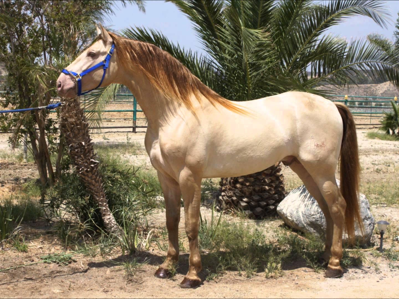Equus Ferus Wild Horse Photography 174 The Cream Dilution Gene