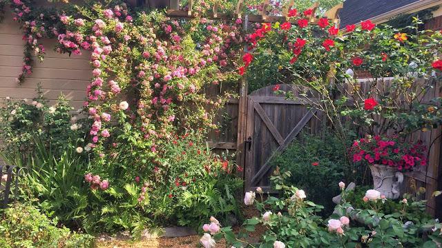 Tường rào đẹp với hoa hồng leo