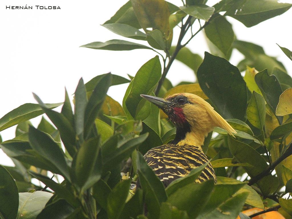 Aves de Argentina: Carpintero copete amarillo (Celeus flavescens)