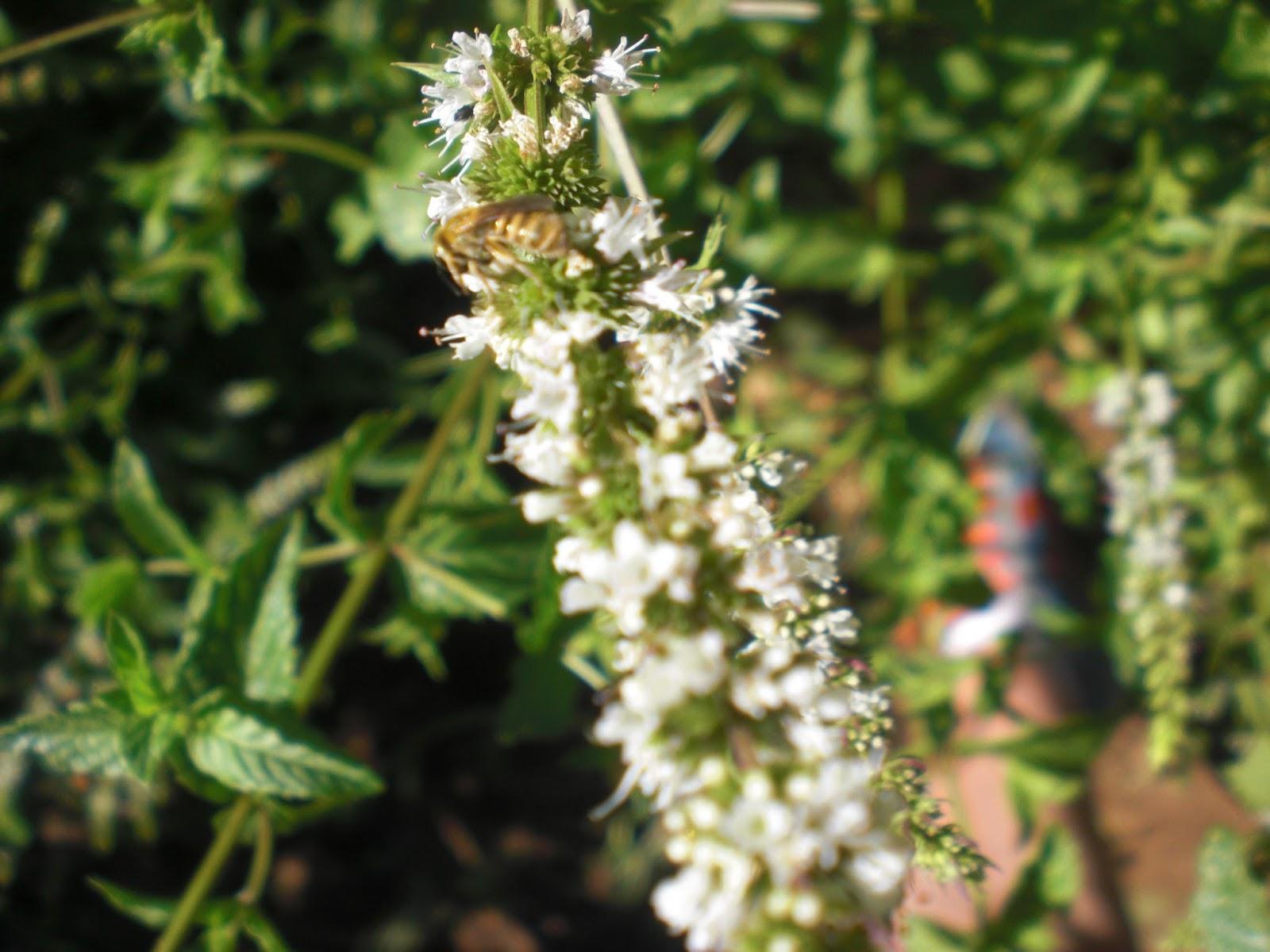 Perfumes y luces de extremadura abejas en la menta for Ahuyentar abejas jardin