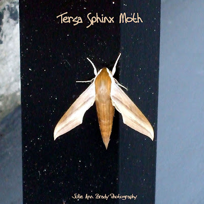 Tersa Sphinx Moth - Leesburg, Florida, December 21, 2016
