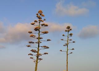 Pitas en Cabo de Gata. Flores de pita