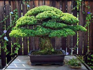 kriteria-tanaman-bakal-bonsai.jpg
