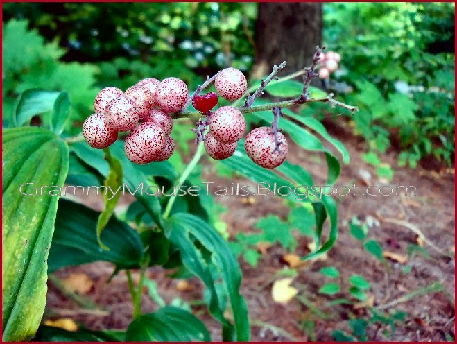 Solomons seal wildflower berries speckled almost ripe red image