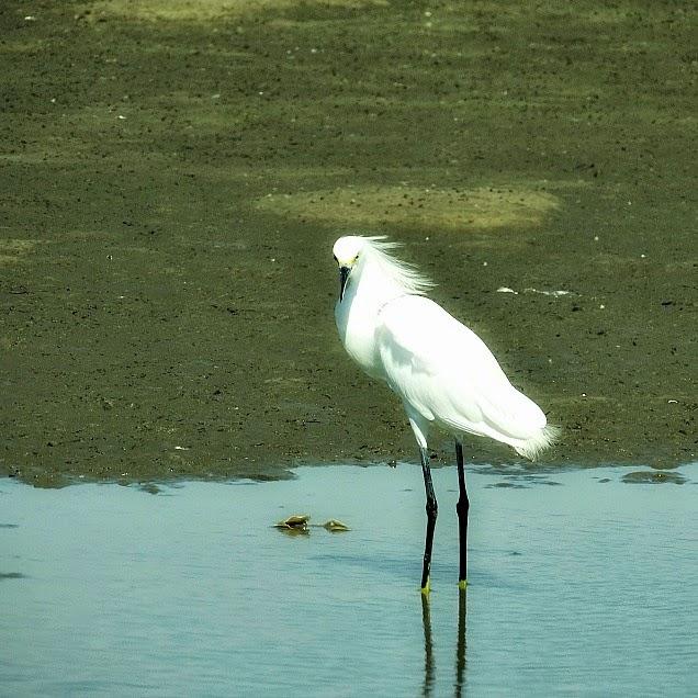 Garça, na Barra da Lagoa do Peixe - Parque Nacional da Lagoa do Peixe