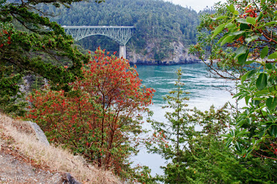 Pacific Madronas at Deception Pass
