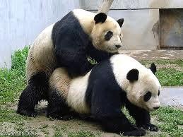 Cute Pandas Wallpapers Funny Fat Panda Funny Animal