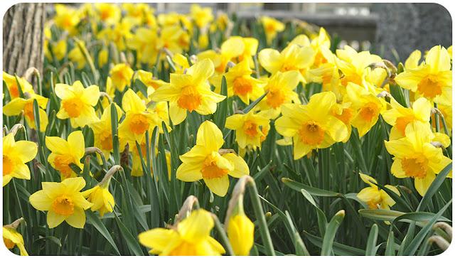 daffodils standing among trees