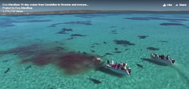 A video shot in Western Australia shows more than 70 deadly Tiger Sharks feeding on a dead whale.  The enormous whale carcass is torn apart as the hungry sharks surround the whale to get chunks of its meat.