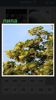 зеленая крона липы с ветками