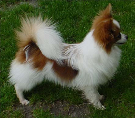 Cute Dogs Papillon Dog