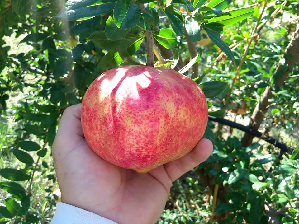 Ancient Greece Fruit