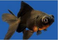 Jenis Ikan Koki black moor warna hitam