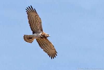 Águila culebrera Circaetus gallicus