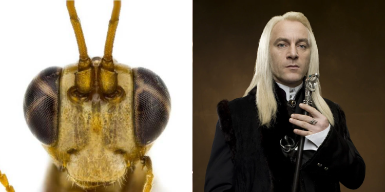 New Zealand Wasp Harry Potter Name