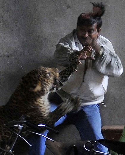 leopard scalps man with its claws