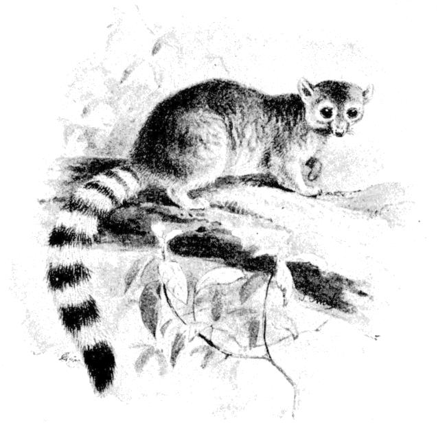 Wild West History: Ring-Tailed Cats, or Miner's Cats: Pest