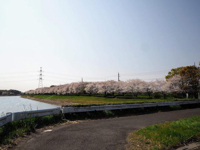 権現堂川 桜