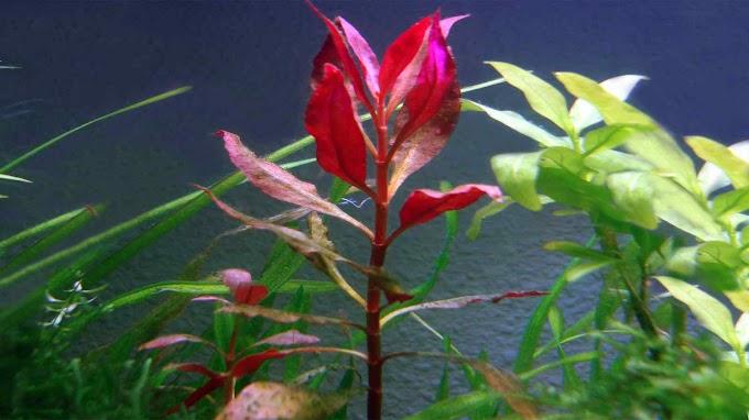 Alternanthera Reineckii Var. Lilacina