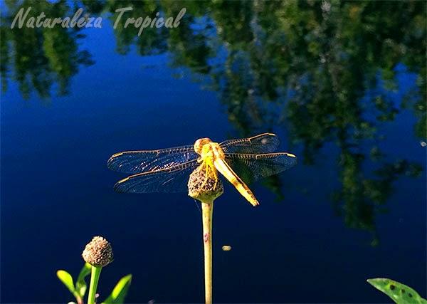 Libélula con alas extendida, orden Odonata