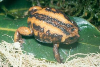 Rana cabeza corta de Etiopía Balebreviceps hillmani