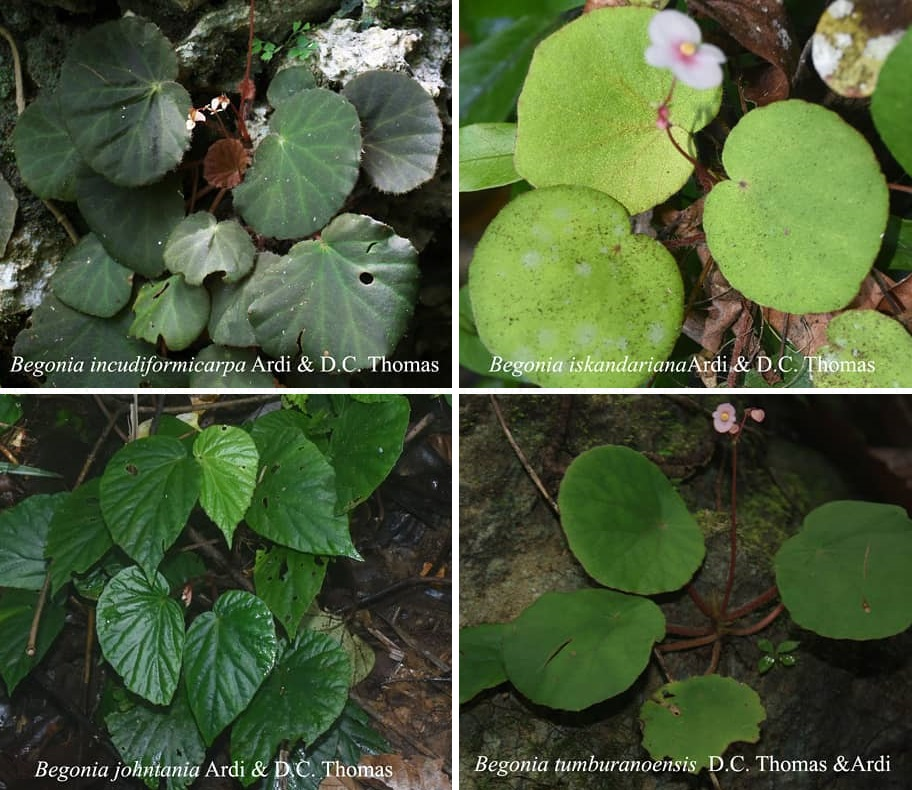 Species New To Science Botany 2018 A Synopsis Of Begonia