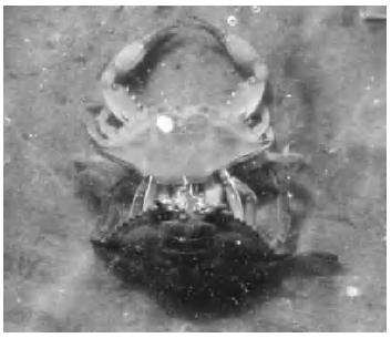 A blue crab sheds its old shell so that it can grow; for a few days after, the crab is vulnerable to predators. (Courtesy Mary Hollinger, NODC biologist, NOAA)