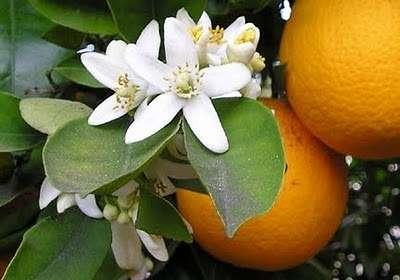 Η φύση τρελάθηκε: Στο Άργος τα μελίσσια δουλεύουν σε άνθη πορτοκαλιάς