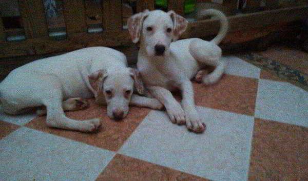 cachorras cruce de dogo argentino