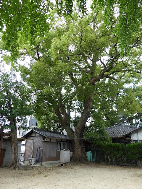 寝屋川市 神田天満宮 指定番号26番、樹高17.27m、幹周り3.53m、推定樹齢350年のクス