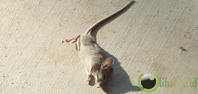Tikus Mati