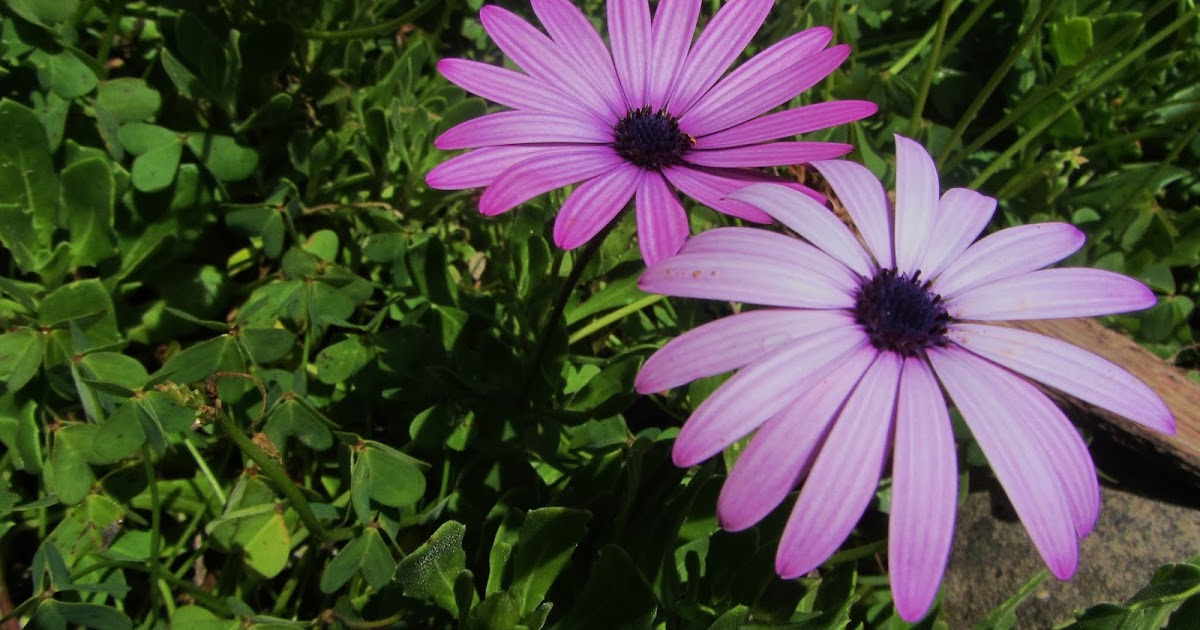 Mulheres SÃo Como Flores: Fardilha's: A Mulher é Uma Flor Que Se Estuda, Como As